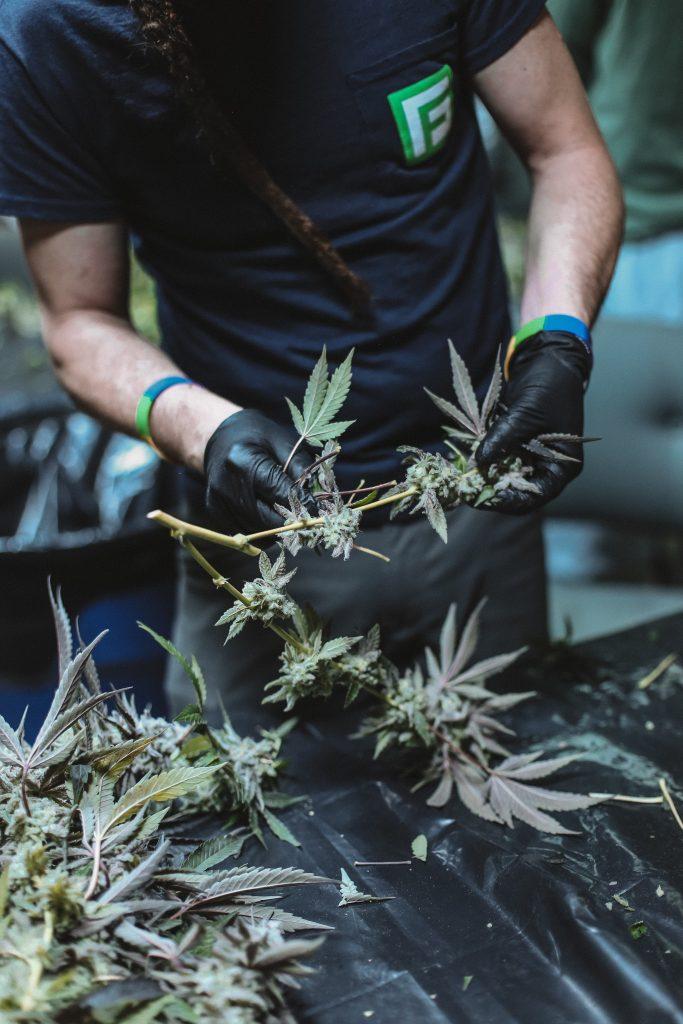 Cannabis Öl herstellen